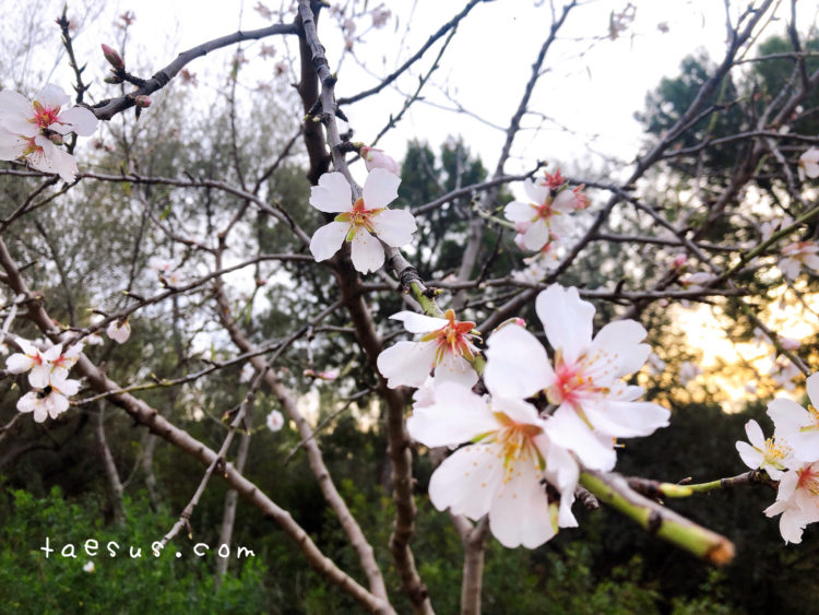桜 グエル公園