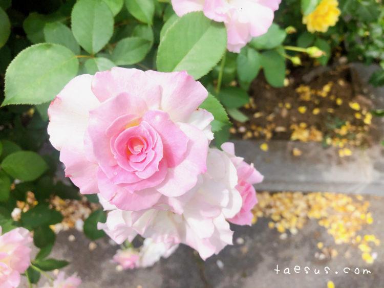 一本木公園の薔薇